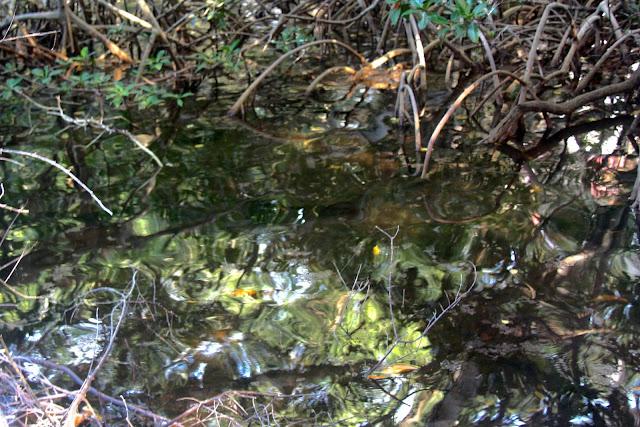 Os reflexos do mangue nas águas calmas das lagunas formam imagens impressionistas, na Isla Grande.