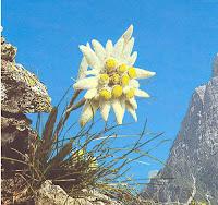 Cultivarea florii de colt