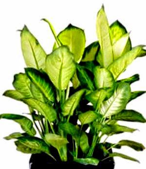 Air cleaner Dumb Cane Dieffenbachia spp.