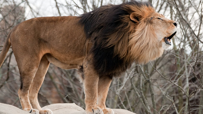Wallpaper: Lion Roaring Wide
