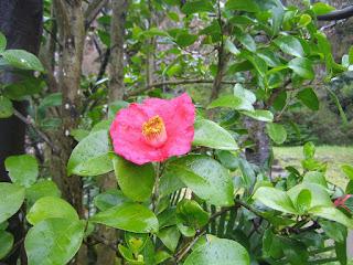 末浄水場に咲く椿