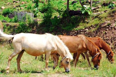 kuda putih dan 2 kuda coklat