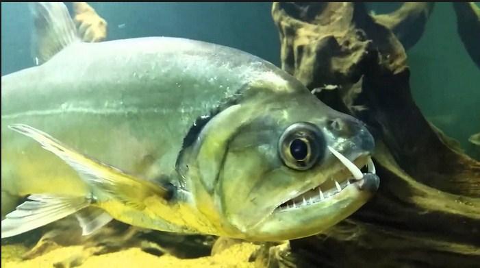 Ini Dia Ikan Payara