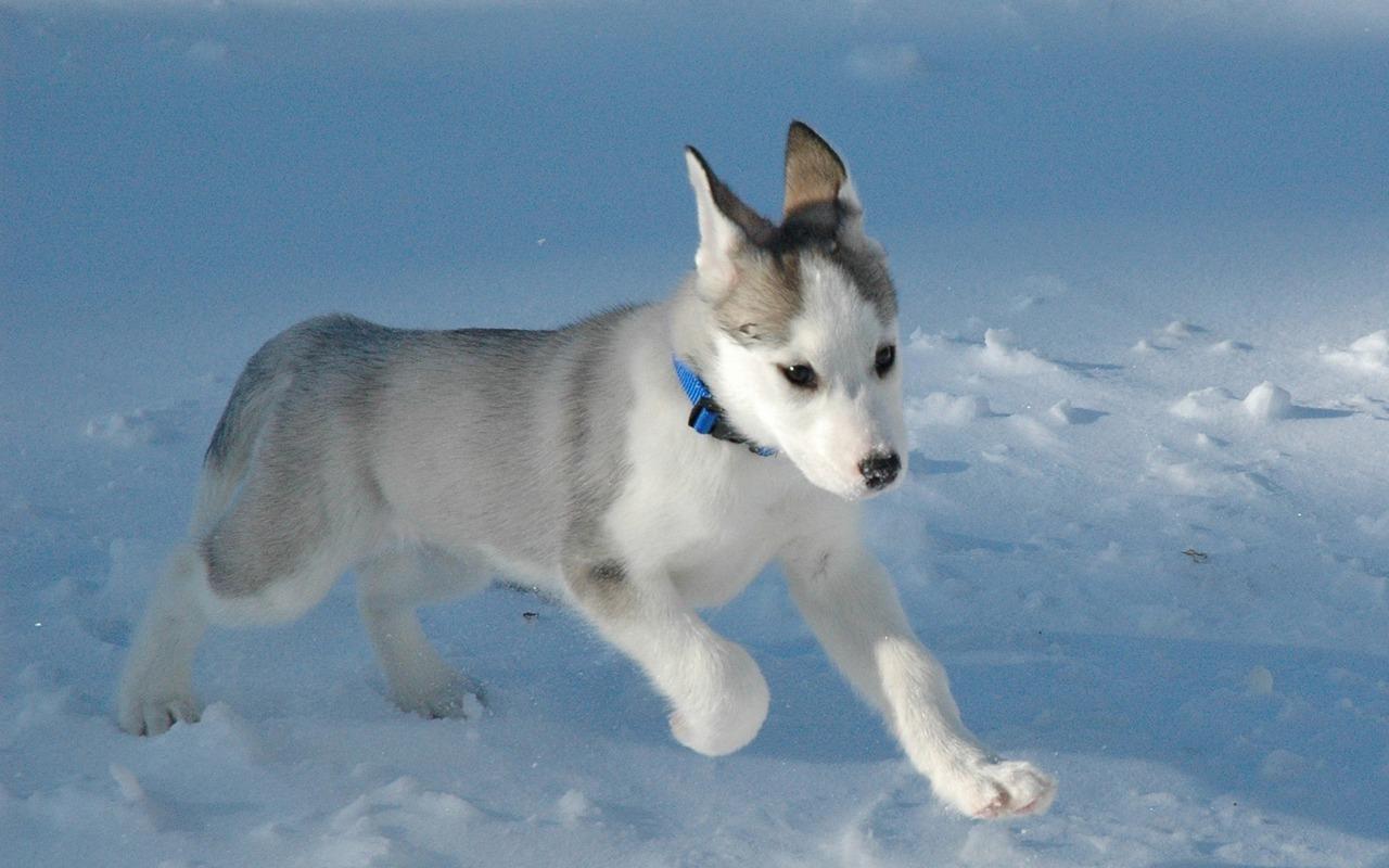 wallpapershub cute siberian huskies puppies wallpapers