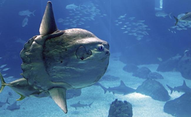 Mola-mola