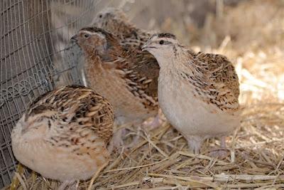 puyuh jantan dan betina, male and female quail, puyuh jantan, puyuh betina, how to be find male and female quail,