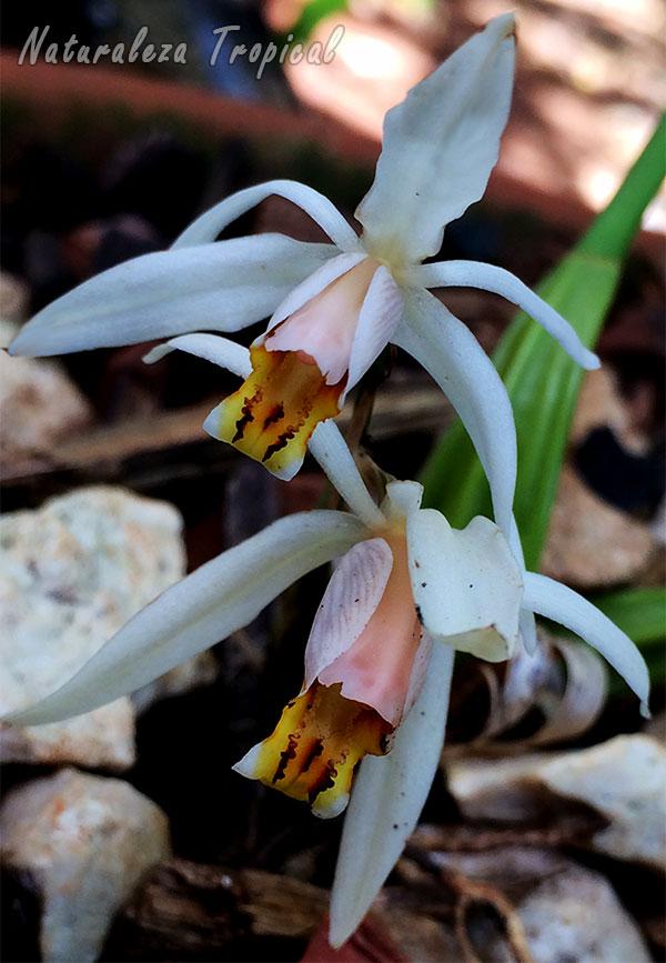 Otra foto de la orquídea Coelogyne viscosa o Coelogyne graminifolia