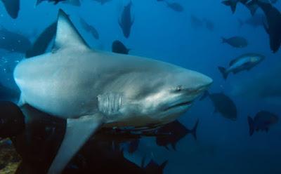 Hiu Banteng (Bull Shark)