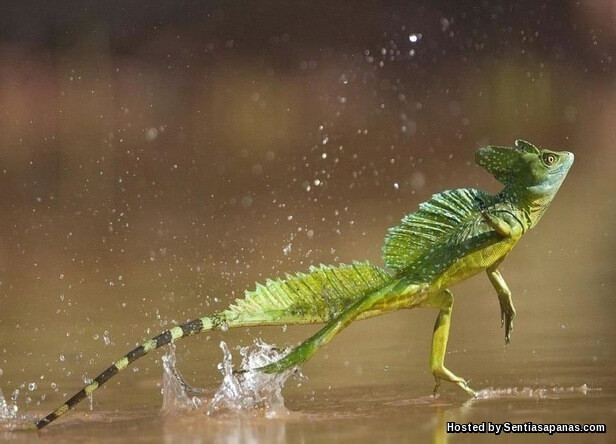 lizard running on water