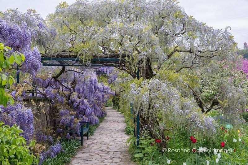 Glicinias en Hermannshof: Wisteria floribunda 'Macrobotrys' y Wisteria sinensis
