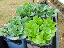 Plastic container garden for vegetables