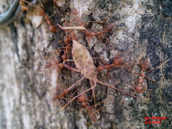 Malanan semut rangrang
