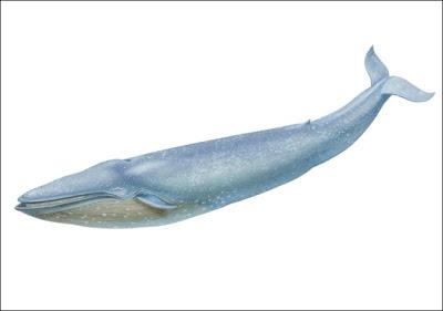 Ballena azul Balaenoptera musculus