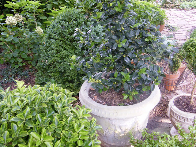 Concrete pots filled with evergreens need top-dressing in late summer.