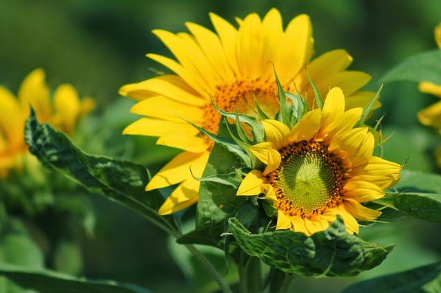 How to Grow Sunflowers Plants