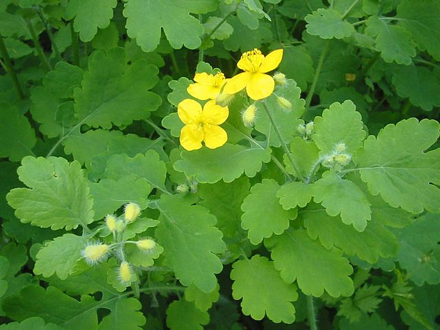 In modern times, Greater celandine is used to treat and alleviate discomforts caused by oncological diseases, both against benign and malignant tumors.