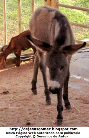 Foto de un burrito triste. Foto de un burro de Jesus Gómez