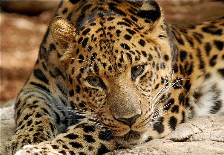 15 Animals That Are In Danger Of Extinction (Unless We Try To Protect Them) - Amur Leopards