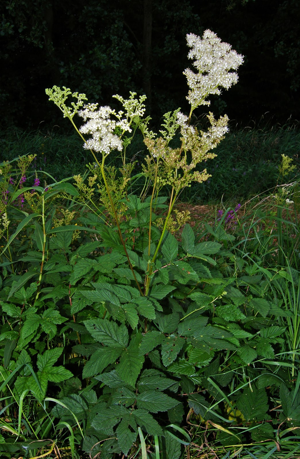 Kitchen witch blog meadowsweet by unit for The meado