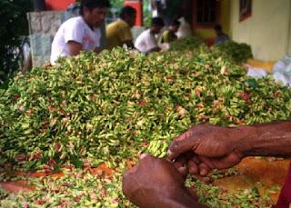 cara menanam cengkeh manual,cara menanam cengkeh kumpulan tips,cara menanam durian agar cepat berbuah,cara menanam durian montong agar cepat berbuah,cara merawat cengkeh di musim kemarau,