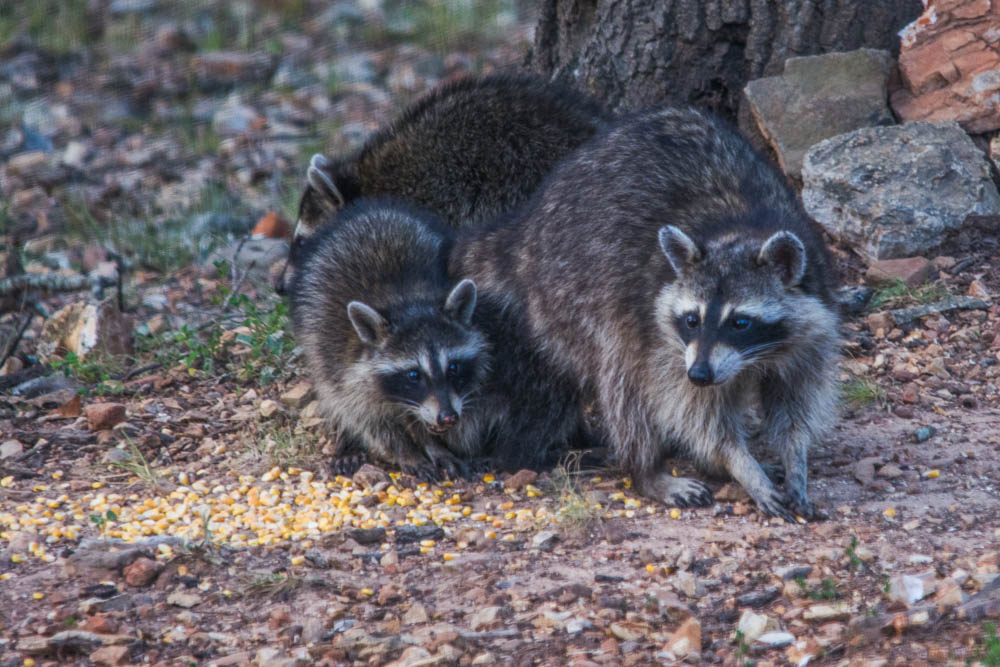 Raccoon mother and babies