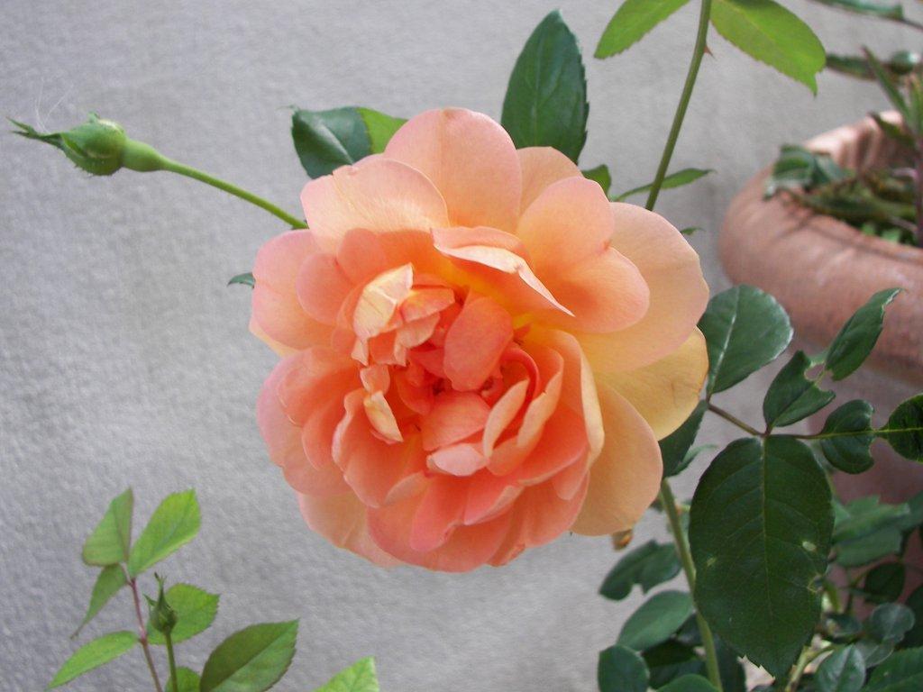 Rose Da Disegnare Facili: La Leggenda Delle Rose Senza Spine