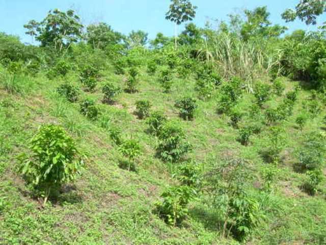 gobierno-intenta-reactivar-siembra-de-cafe-en-la-sierra-de-perija