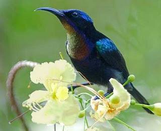 kolibri ninja www.burung45.blogspot.com