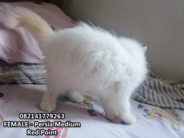 kucing persia medium di jual