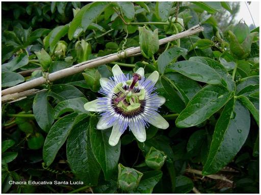 Flor del mburucuyá - Chacra Educativa Santa Lucía