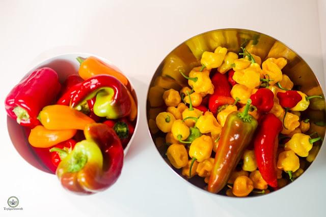 im Herbst geerntete reife Paprika- und Chilischoten - Gartenblog Topfgartenwelt