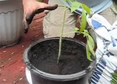 cara menanam tomat dalam pot di halaman rumah