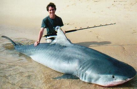 Funny Pictures Gallery: World record tiger shark, tiger ...  Funny Pictures ...