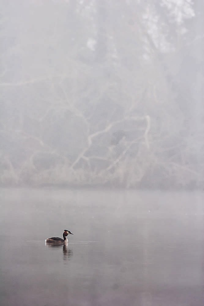 Great-crested Grebe in the mist, Lodge Lake, Milton Keynes March 2014