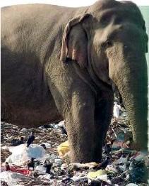 Amparai elephant dies ... having gulped down shopping bags
