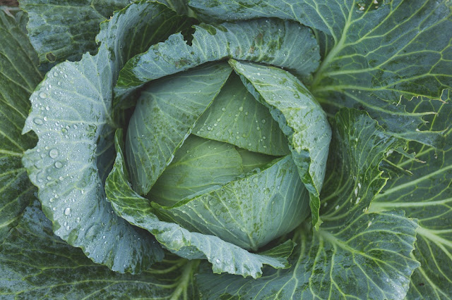 How I'm fighting the war on cabbage worms. Week 2 of the Self-Reliant Challange #selfreliantchallenge