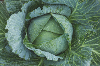 How I'm fighting the war on cabbage worms, plus tips for growing the best cabbage ever.
