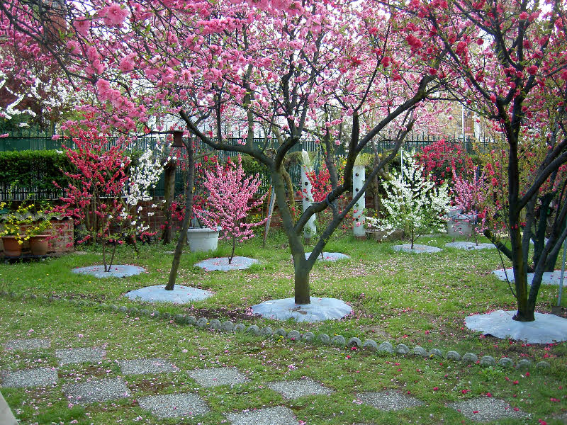 Ornamental Flowering Peach Trees Are Grown For Their Beautiful Double Flowered Petals Colored Flowers Pink Red And White Depending On The