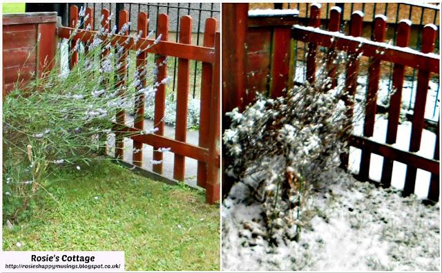 Summer & Winter Lavender