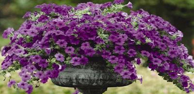 Gambar Bunga Petuina