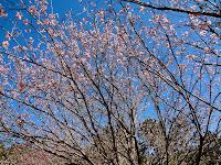 Cerejeiras Templo Kinkaku-ji em Itapecerica da Serra