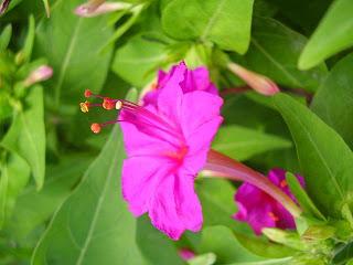 Mirabilis jalapa Bunga Pukul Empat