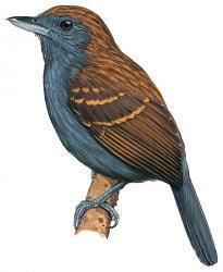 Xenornis setifrons