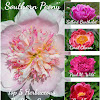 Peony Hybridizer Don R. Smith
