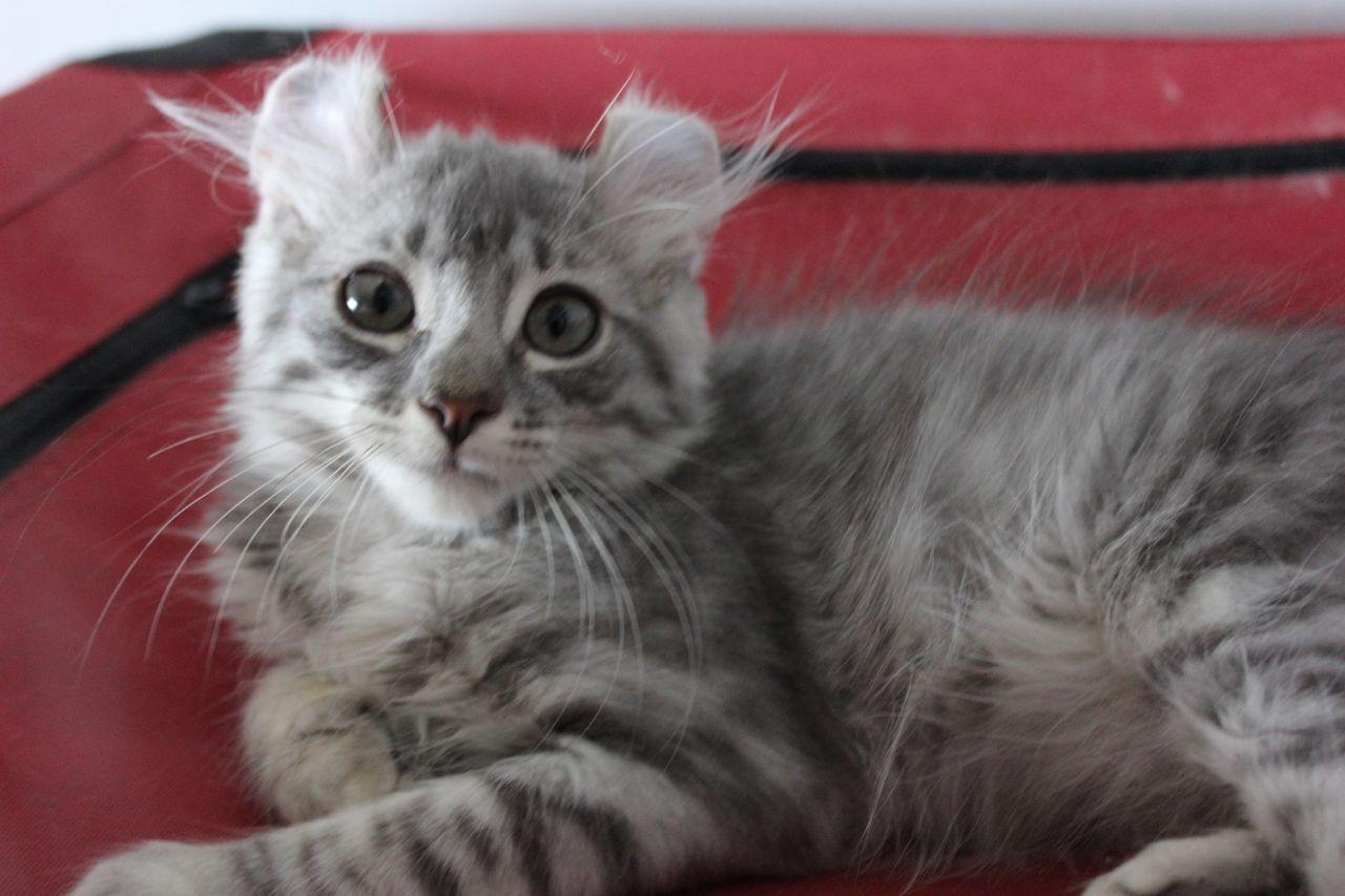 American Curl Cat For Adoption