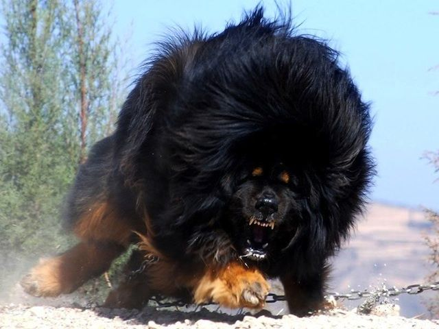 Most Dangerous tibetan mastiff Dogs