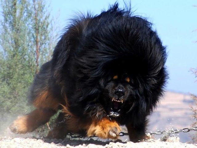 Most Dangerous tibetan mastiff Dogs