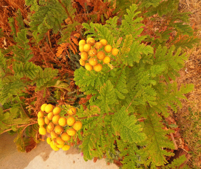 My Experience Growing Tansy
