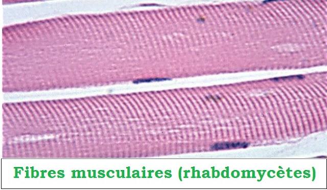 Tissu musculaire striée - rhabdomycètes