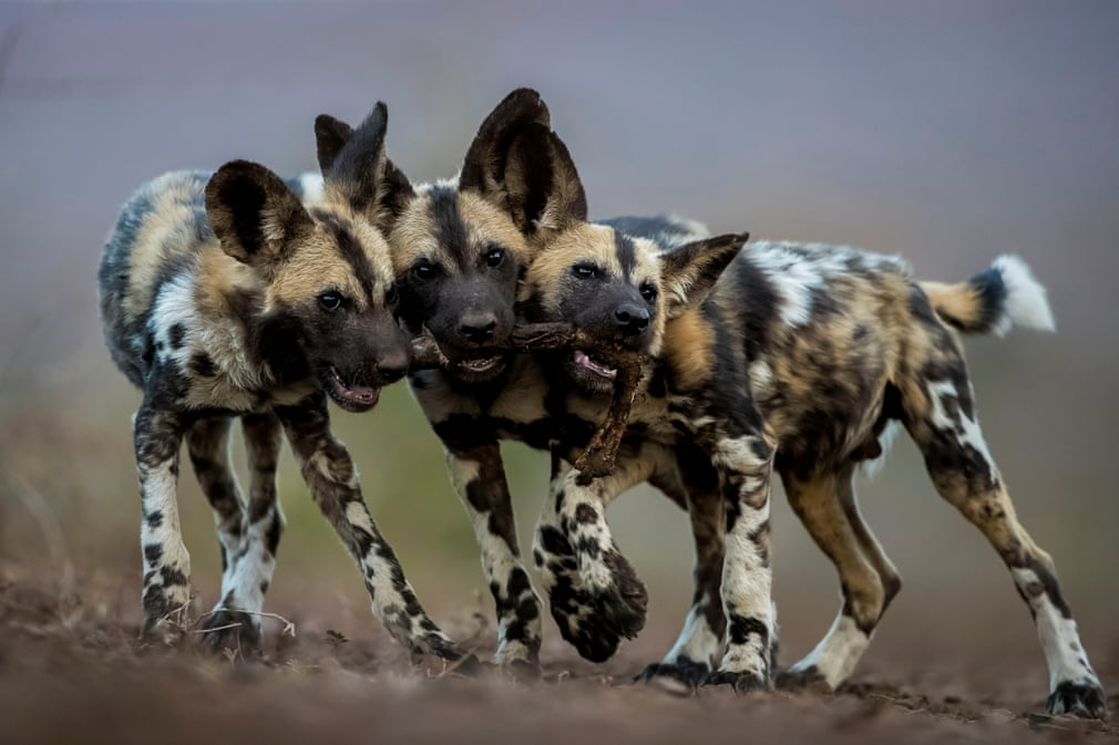 Três cães-selvagens-africanos a brincar com a pata de uma impala (por Bence Máté)